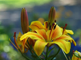 flower oriental lily colorful photography blooms vivid cute sweet