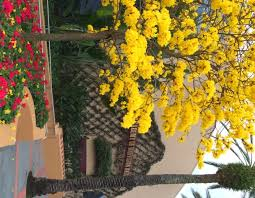 tabebuia trees at walt disney world and carrie