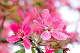 tree with pink flowers pink pear tree flowers free image on 4 free photos