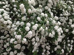 small white flowers what s the name of this bush with white flowers like a