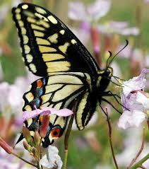 sacramento native plants swallowtail the news ledger