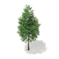 3d norway spruce picea abies 2m cgtrader
