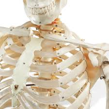 Life Size Posable Skeleton Halloween Human Life Size Skeleton Model Full Size Skeleton Model