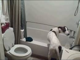 Greyhound Bathroom Spike The Greyhound Puppy Held Captive By The Evil Bathtub Youtube