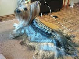 haircuts for yorkie dogs females yorkie haircuts 100 yorkshire terrier hairstyles pictures yorkiemag