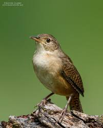 southern house wren kester clarke wildlife photography