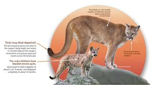 cougar identification western wildlife outreach