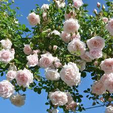 Fragrant Rose Plants - a great rose covered entrance liquidscapes