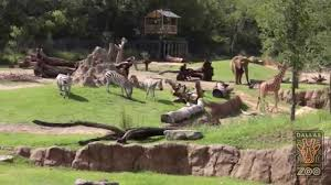 dallas zoo u0027s world renowned giants of the savanna in 20 seconds