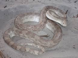 field herp forum u2022 view topic florida pine snake pituophis