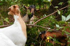 michigan native plants new weapon to fight invasive plants in michigan goats michigan