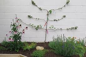 Backyard Fruit Trees Tips For Planning A Backyard Orchard Intro Growing Fruit Trees