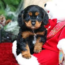 puppies for sale pa cavapoo puppies for sale images babies