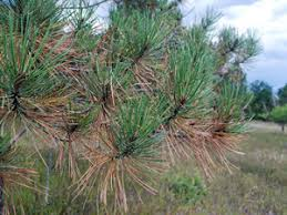 yellowing pine needles normal in autumn colorado state forest