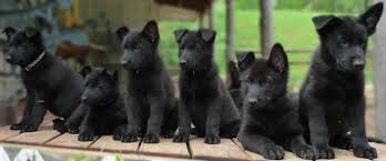 belgian sheepdog puppies for sale in michigan black german shepherd info traits and behavior dog smooch