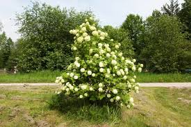 tree with white flowers shrub with clusters of white flowers stock photo colourbox