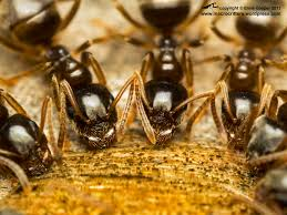 ants like maple syrup macrocritters