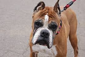 boxer dog for adoption wethersfield ct boxer meet hedy a dog for adoption
