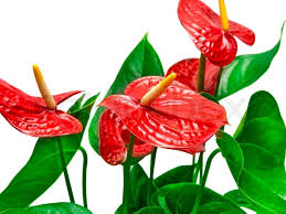 anthurium flower anthurium flower stock photo colourbox