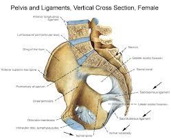 Knee Bony Anatomy Bony Pelvis Anatomy Bone And Spine