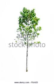 single big linden tree stock photos single big linden