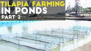 tilapia farming in ponds part 2 tilapia in pond cultural