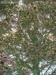 fagus sylvatica plantfiles pictures common beech european beech u0027roseomarginata