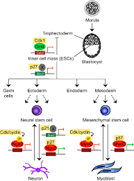 cdks cyclins and ckis roles beyond cell cycle regulation