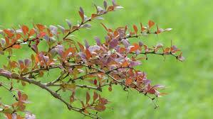 simply edible berberis vulgaris also known as common barberry european