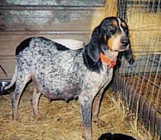 bluetick coonhound origin i found peanut on searching bluetick coonhound and pets