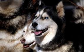 american pitbull terrier vs siberian husky most dangerous dogs appearances can be deceiving