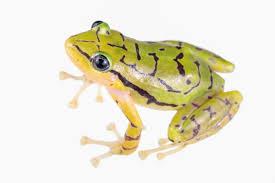 striking yellow black rain frog found is already endangered
