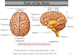 Gross Brain Anatomy Neuron Spinal Cord Histology Brain Anatomy Sheep Brain Dissection