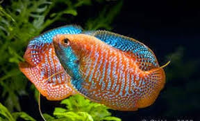 freshwater tropical fish care for the gourami freshwater