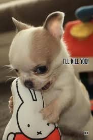 Chihuahua Meme - vicious chihuahua puppy my chihuahuas blog