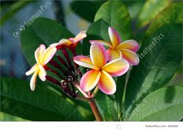 plumeria flower picture of hawaiian plumeria flowers