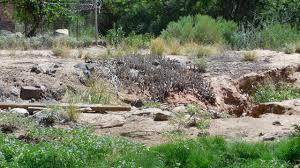 utah native plants invasive arundo takes hold in virgin river system control efforts