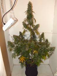 growing autoflower with led lights dutch passion autoeuforia homegrow cannabis review dutch passion