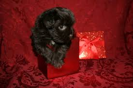 affenpinscher havanese mix view ad havanese puppy for sale new york oswego usa
