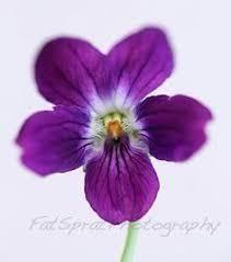 the 25 best violet flower tattoos ideas on pinterest violet