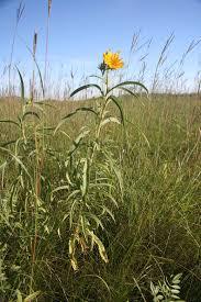 manitoba native plants ontario field biology manitoba prairie escapades