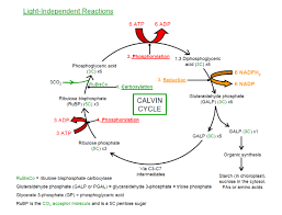 Where Do The Light Independent Reactions Occur The Plant Leaf