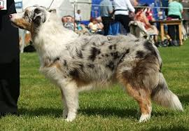 australian shepherd eye diseases dog coat colour genetics