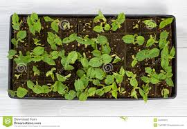 green bean starter plants ready to plant outside in garden stock