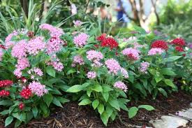 Pentas Flower Find Plant Flower Tree Shrub Perennial Annual Texas Native