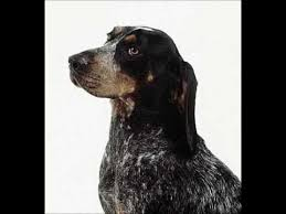 bluetick coonhound breeders near me blue tick coonhound puppies for sale by pets4you com youtube