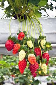 strawberry tree in the garden cameron highlands malaysia stock