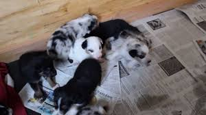 australian shepherd blue heeler merle pups jackson towards the end texas heeler pups alt