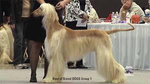 afghan hound national dog show afghan hound