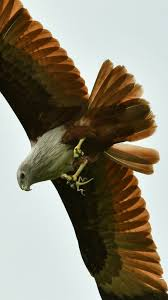 brahminy kite with lizard in flight photo fabulous no